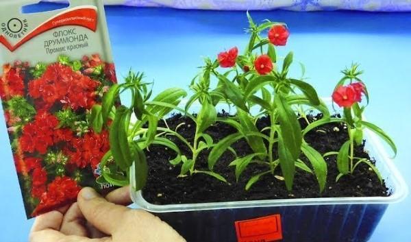 выращивание флоксов из семян