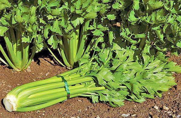 выращивание и уход за черешковым сельдереем