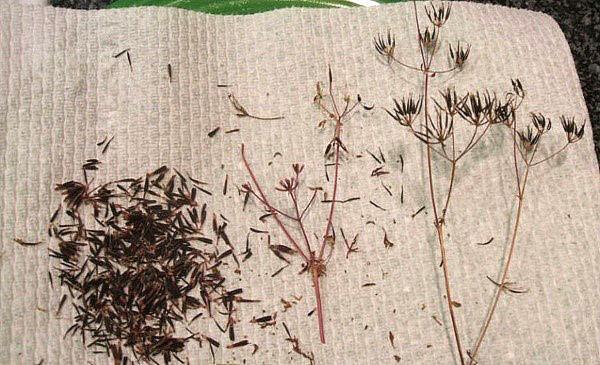 семена кервеля