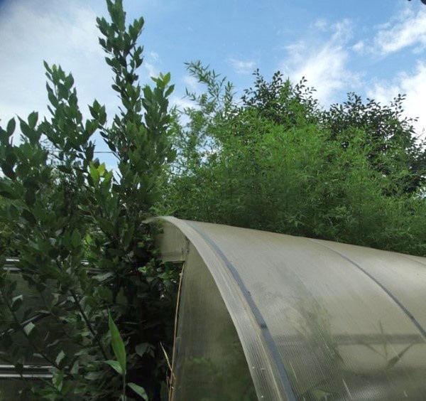 Лавр посадка и уход в открытом грунте в подмосковье