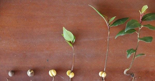 Выращивание лавра в открытом грунте на даче как посадить видео