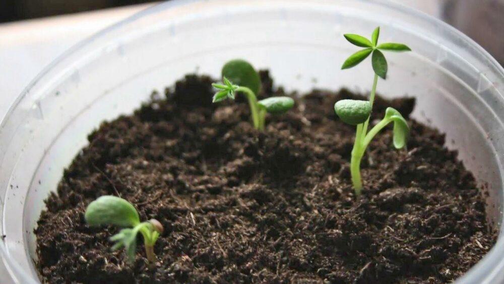 всходы семян люпина