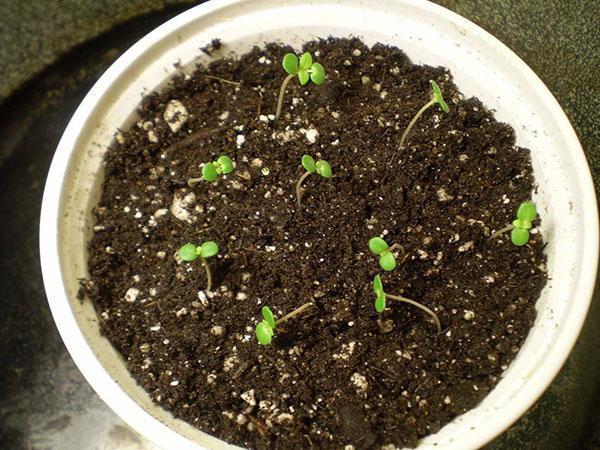 всходы семян майорана