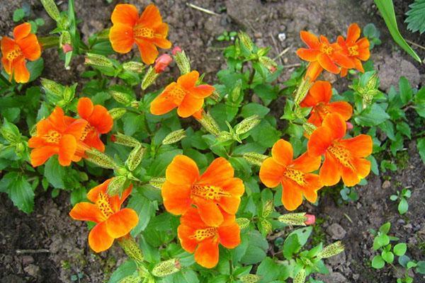 цветет мимулюс на клумбе
