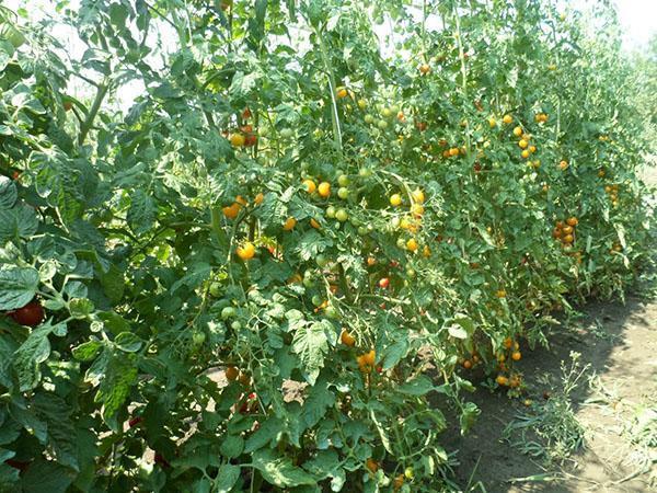 высокорослый сорт помидор
