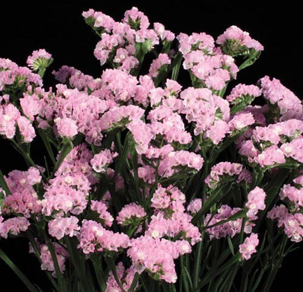 статица суприм розовая