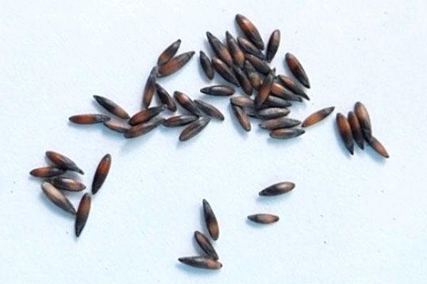семена статицы