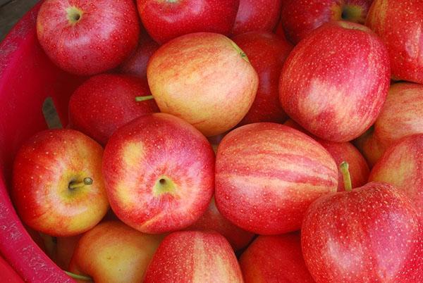 сорта яблок для заморозки