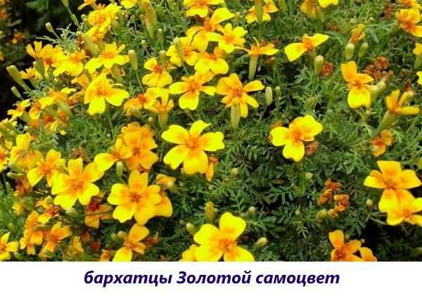 бархатцы золотой самоцвет