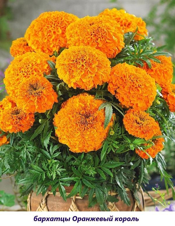 бархатцы оранжевый король