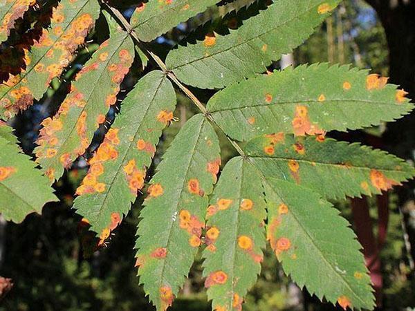 поражение листьев рябины