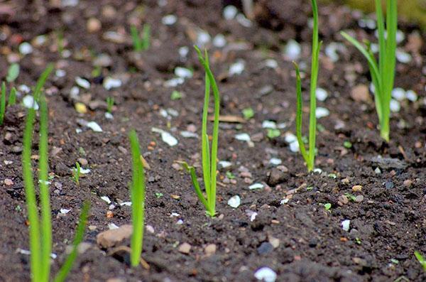 удобрение лука весной