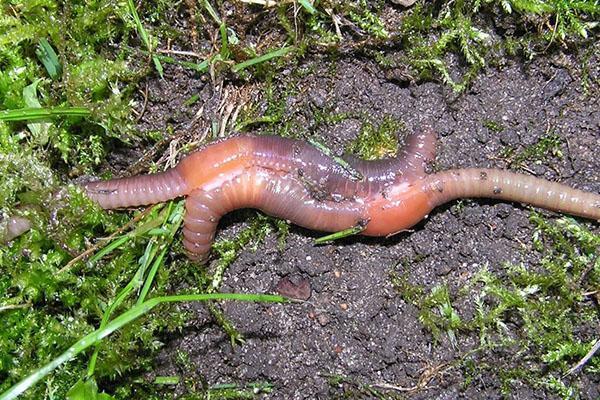 спаривание червей