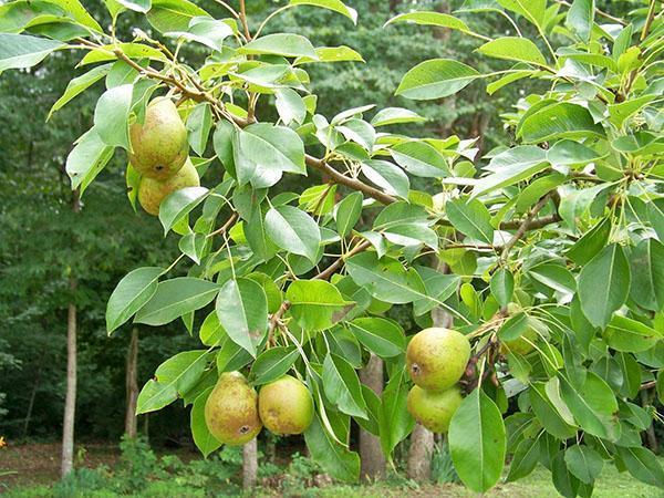 плоды груши детская