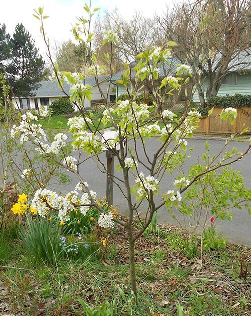 цветет груша Рогнеда