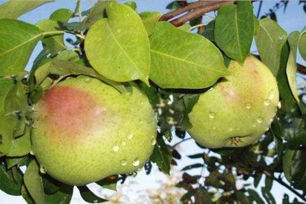 созревают плоды сорта Рогнеда