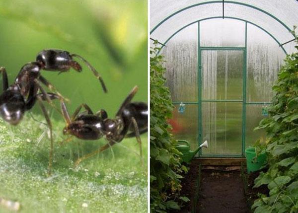 Борьба с муравьями в теплице с огурцами