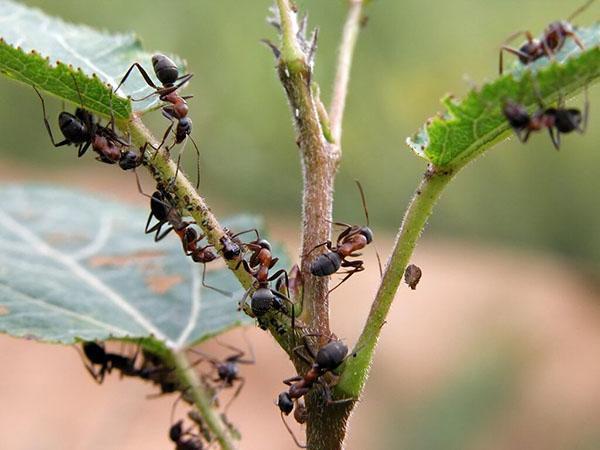 нанесение вреда муравьями