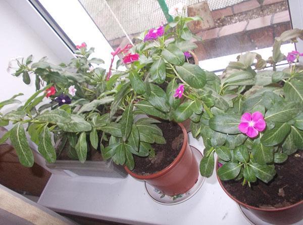 растению необходимо опрыскивание