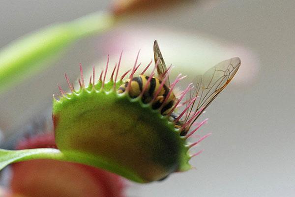 питание хищных растений