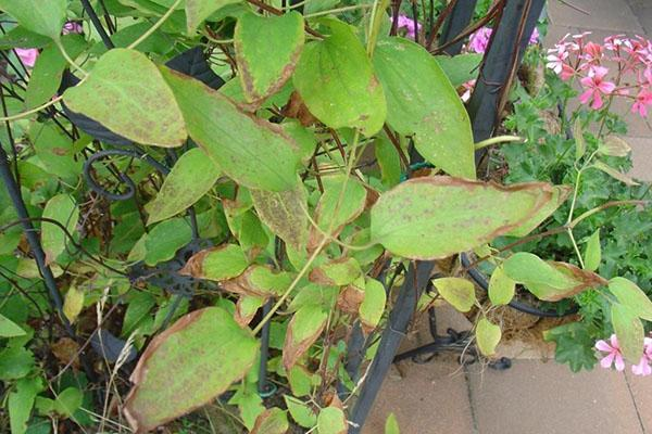 сохнут листья клематиса