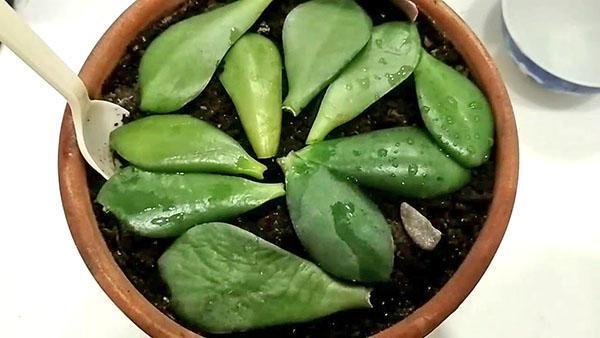 отвар из листьев толстянки