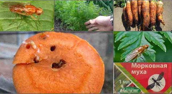 методы борьбы с морковной мухой