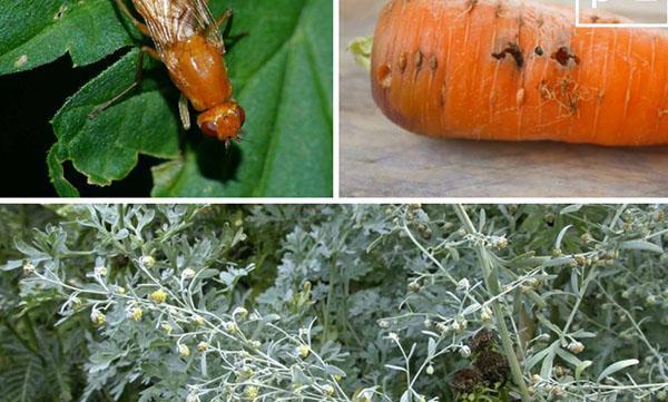 работа морковной мухи
