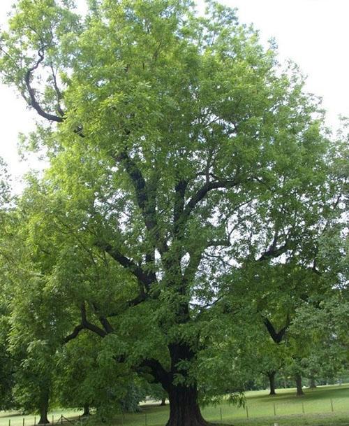 взрослое дерево черного ореха