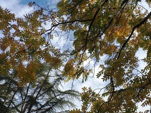 черный орех осенью
