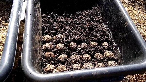 высадка орехов в грунт