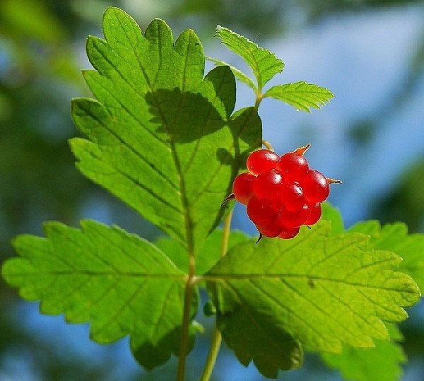листья и ягоды княженика в народной медицине
