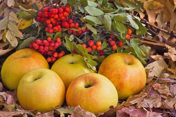 моченые яблоки и рябиной