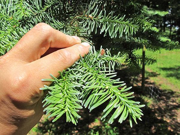 здоровое декоративное дерево