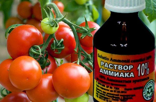 аммиак для томатов