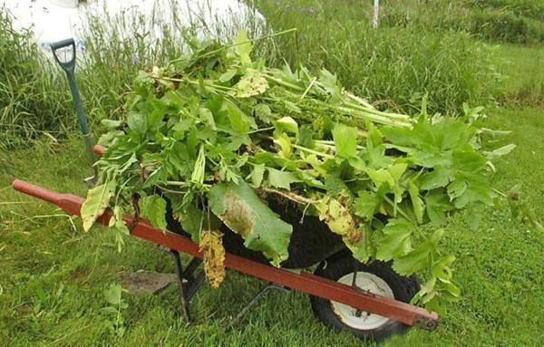 распространенные сорняки на огороде