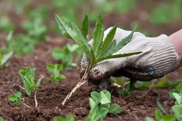 удаление сорняка