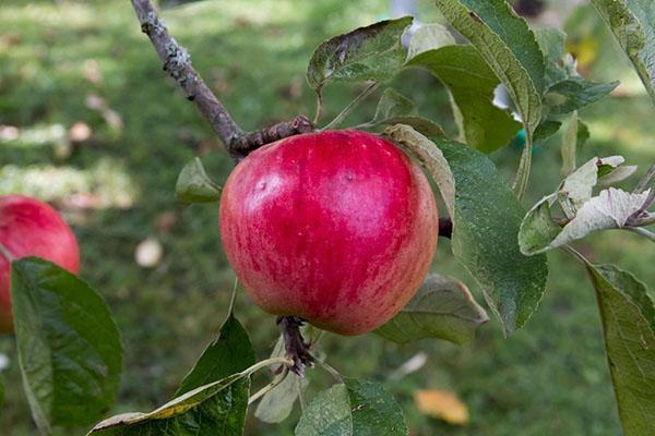 сорт яблони Услада