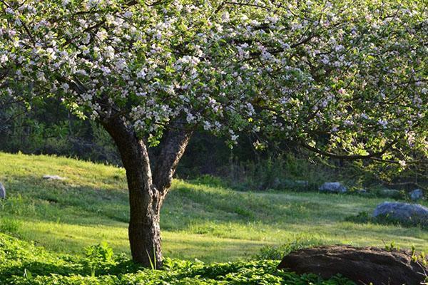 цветет яблоня сорта Услада