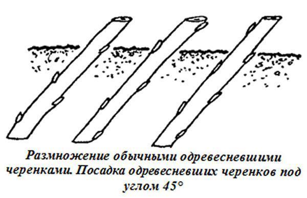 укоренение одревесневших черенков