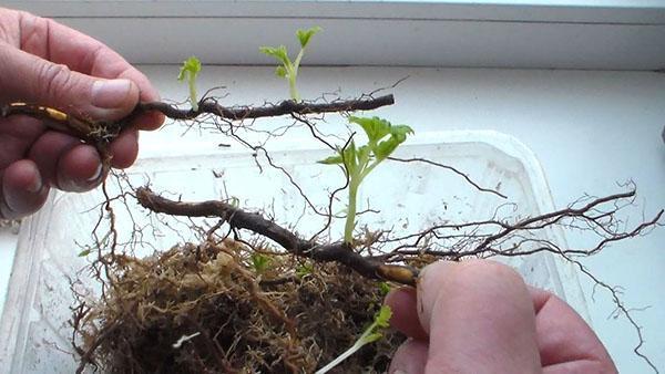 размножение рябины корневыми отводками