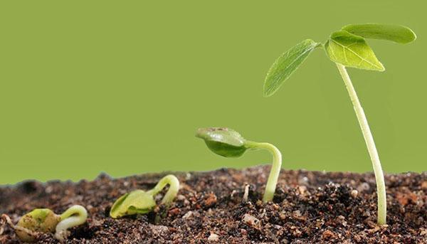 всходы растения