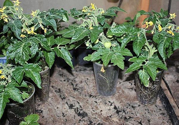 рассада томата челнов для высадки в грунт