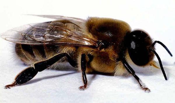 трутни в пчелиной семье