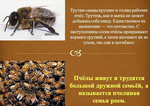 назначение трутней в пчелиной семье