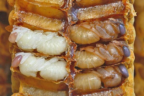 потомство пчел