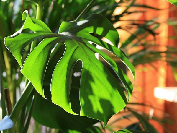 растение предпочитает рассеянное освещение