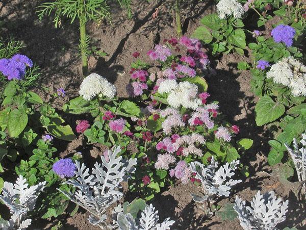 виды и сорта агератума