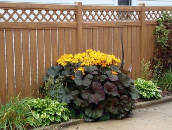 виды и сорта бузульника для сада