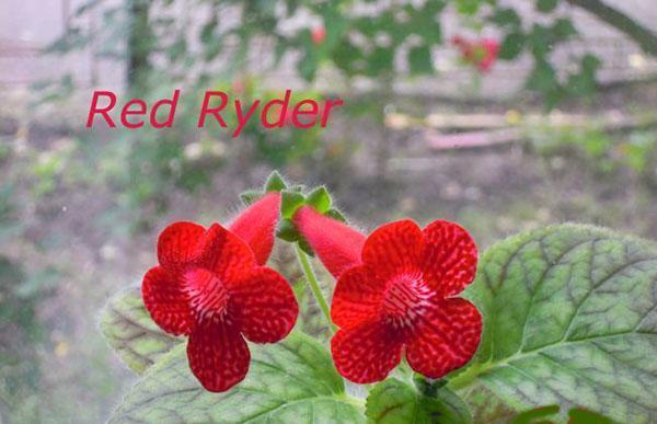 корелия Red Ryder
